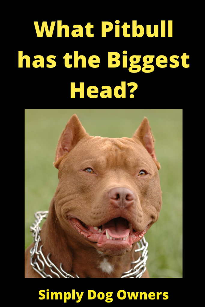 What Pitbull has the Biggest Head? 3