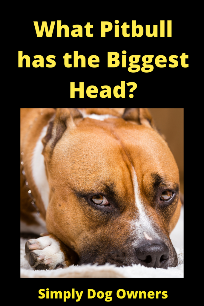 What Pitbull has the Biggest Head? 4