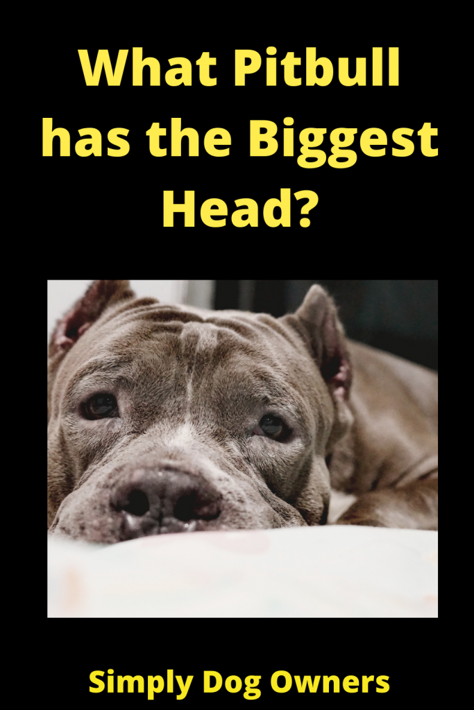 What Pitbull has the Biggest Head? 1