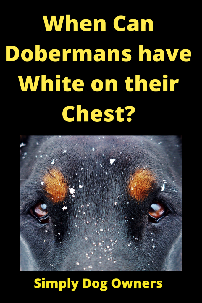 When Can Dobermans have White on their Chest? 3