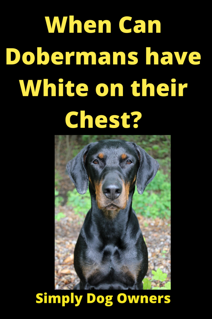 When Can Dobermans have White on their Chest? 5