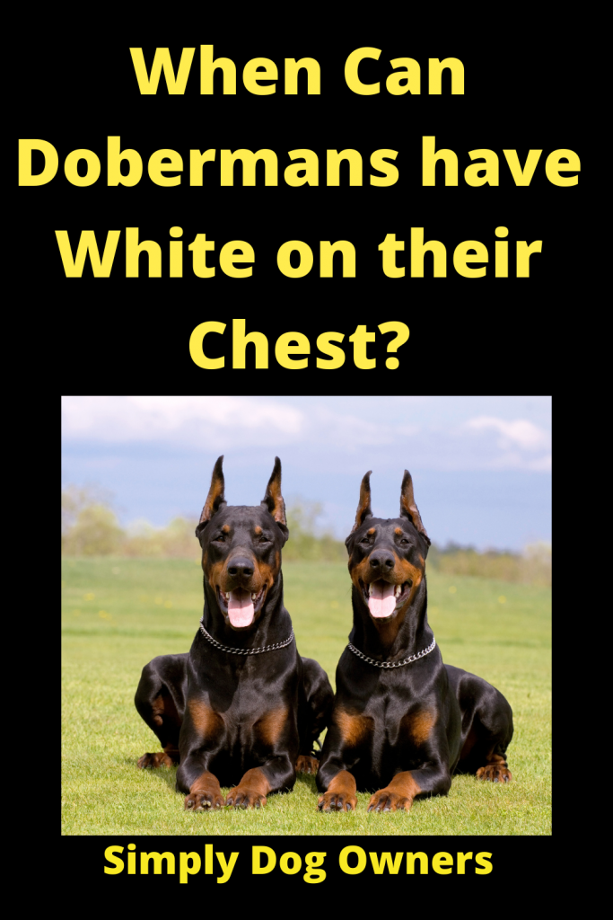 When Can Dobermans have White on their Chest? 1