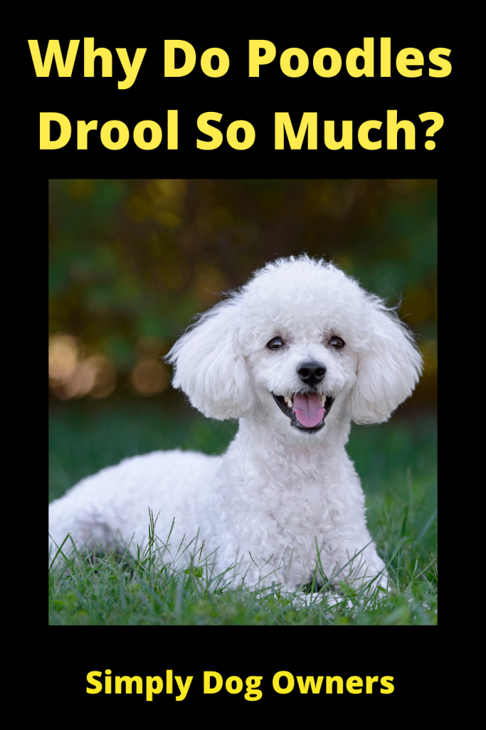 Why Do Poodles Drool So Much? 2