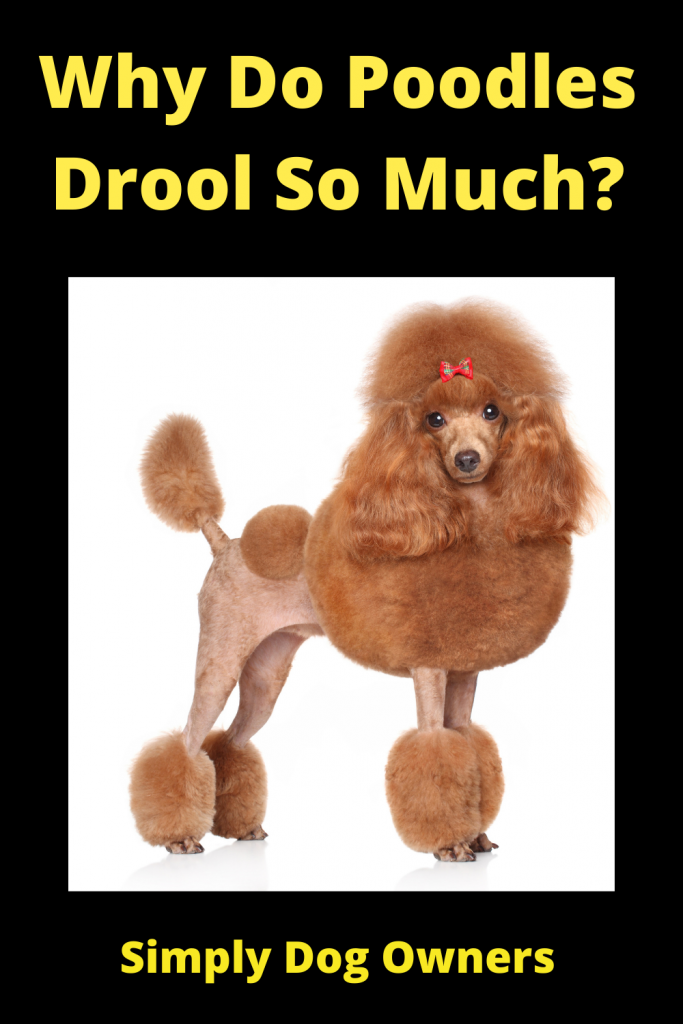Why Do Poodles Drool So Much? 3