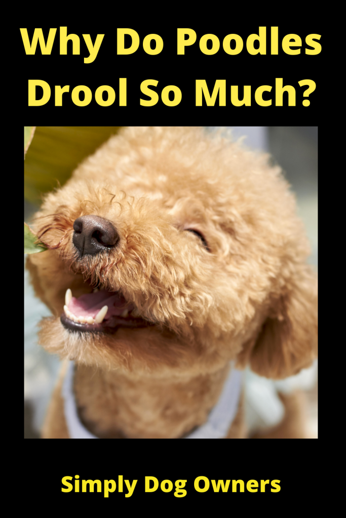 Why Do Poodles Drool So Much? 4