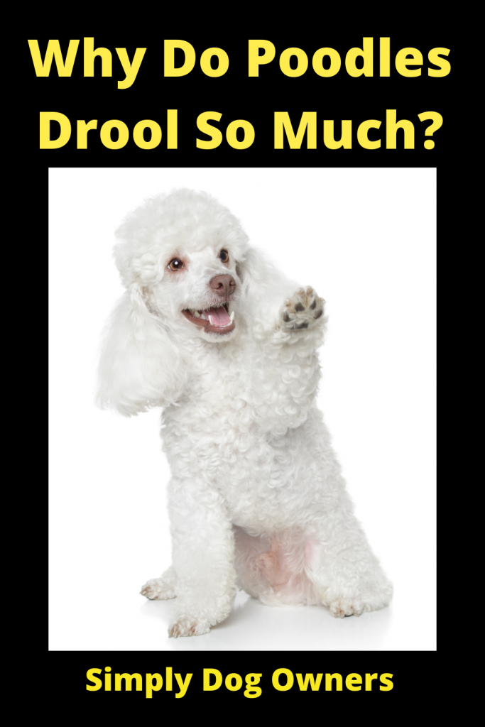Why Do Poodles Drool So Much? 1