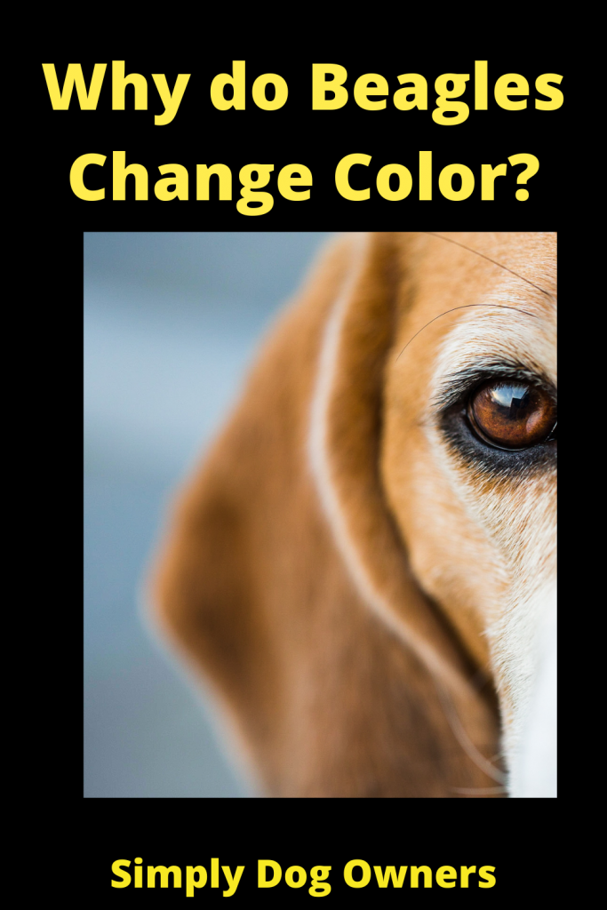 Why do Beagles Change Color? 2