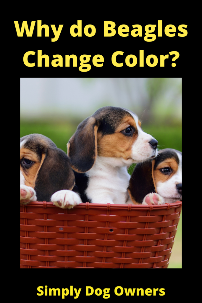 Why do Beagles Change Color? 3