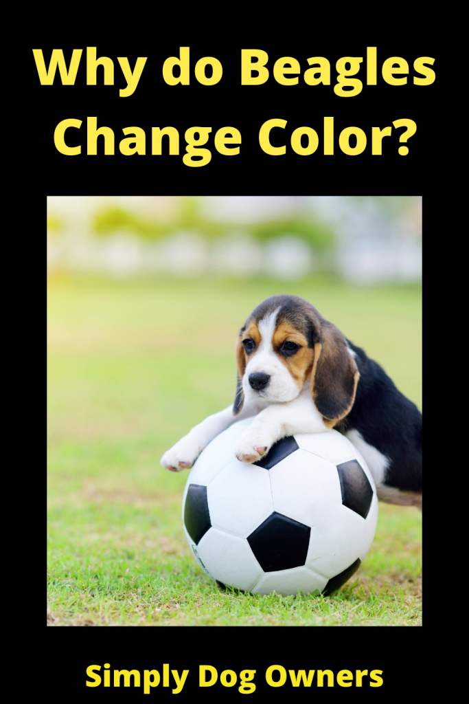 Why do Beagles Change Color? 4