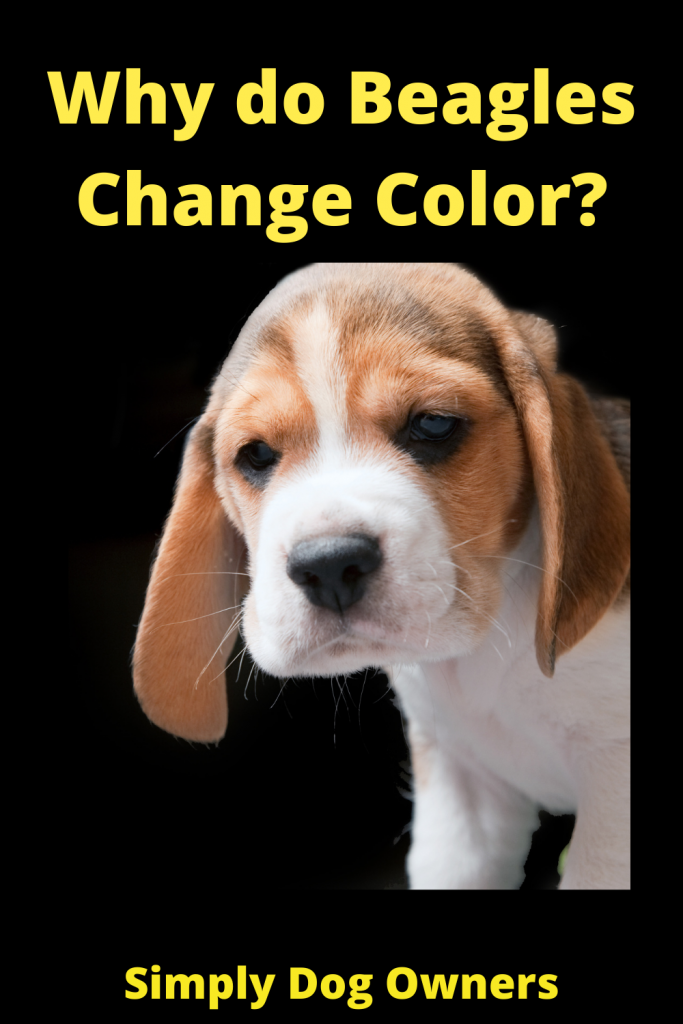 Why do Beagles Change Color? 1