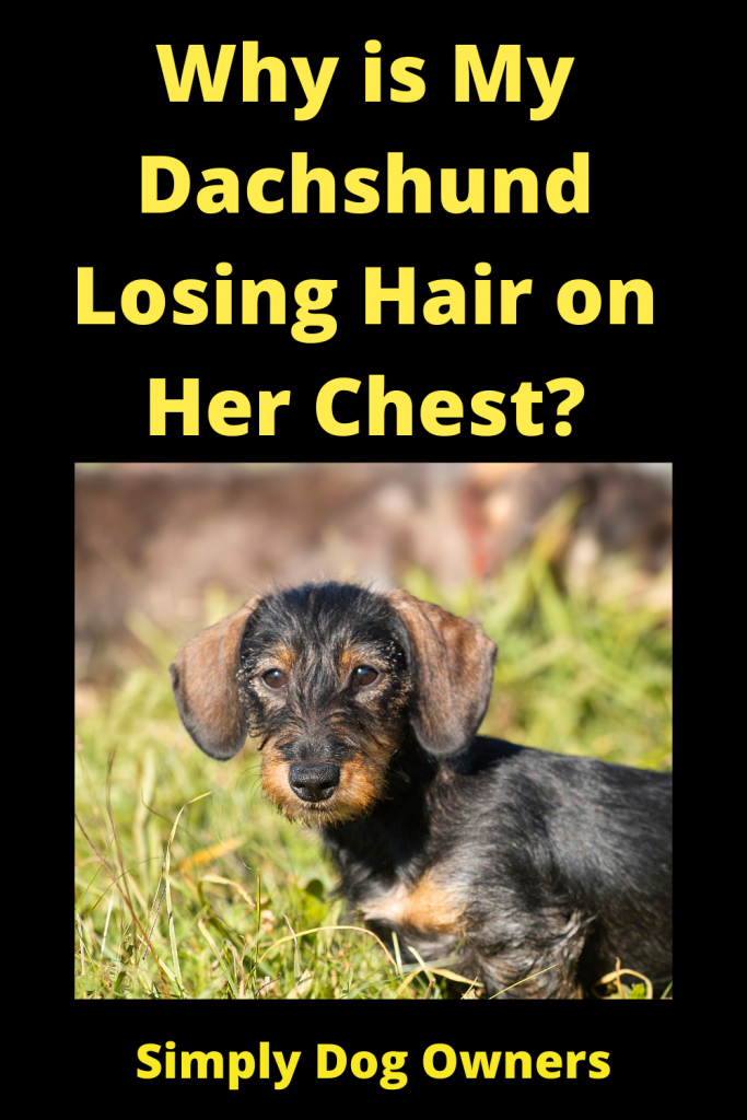 Why is My Dachshund Losing Hair on Her Chest? 2