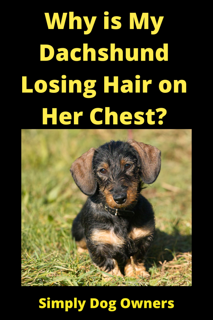 Why is My Dachshund Losing Hair on Her Chest? 3