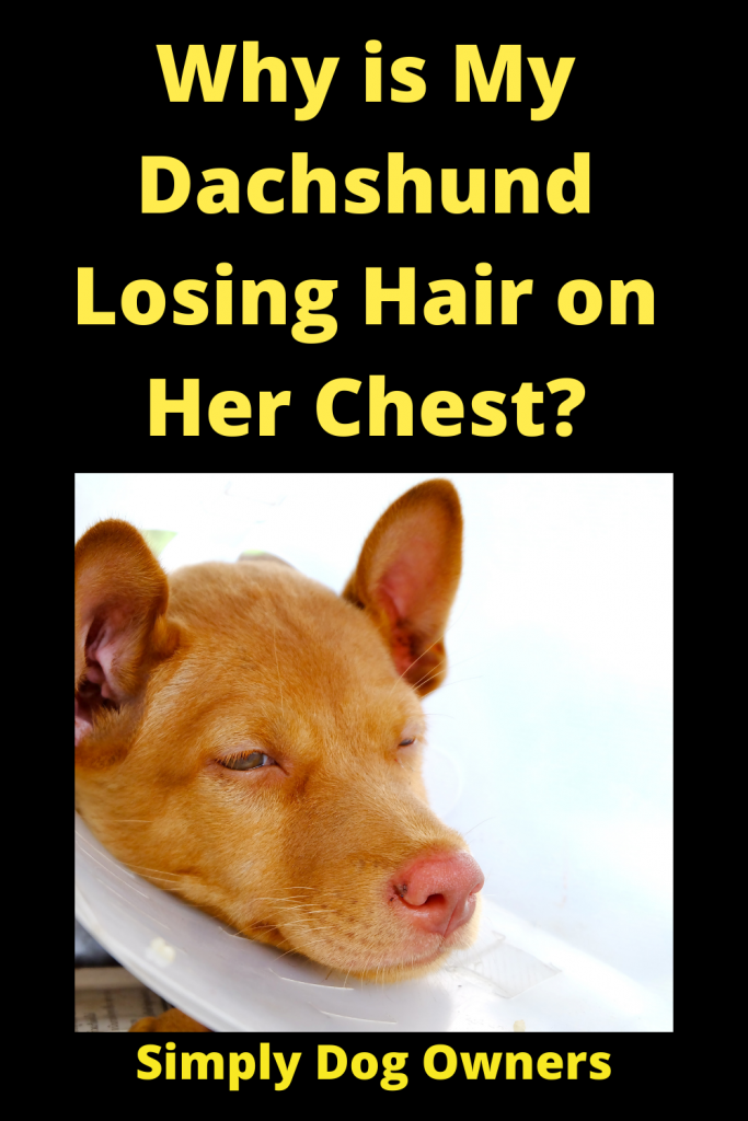 Why is My Dachshund Losing Hair on Her Chest? 4