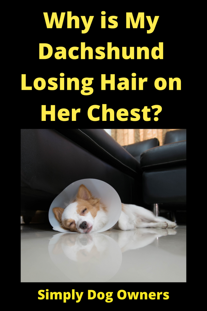 Why is My Dachshund Losing Hair on Her Chest? 5