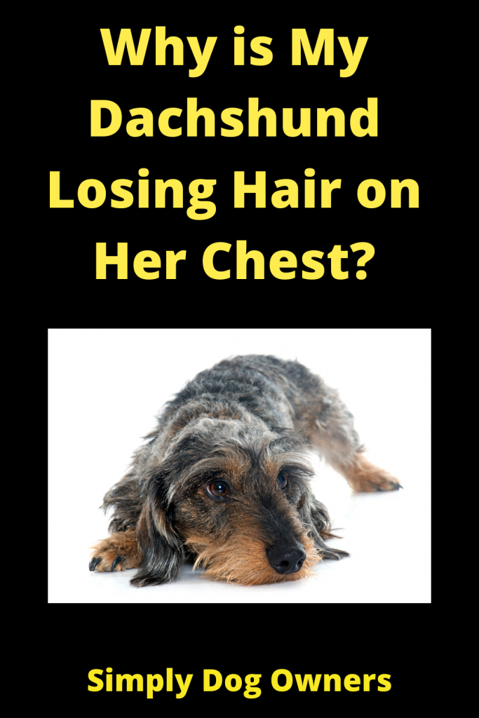 Why is My Dachshund Losing Hair on Her Chest? 1
