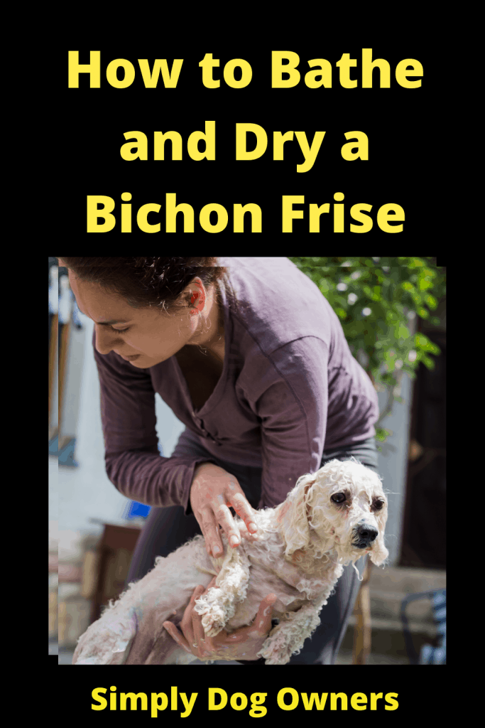 How to Bathe and Dry a Bichon Frise: The Essential Guide 3