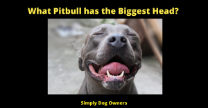 What Pitbull has the Biggest Head?