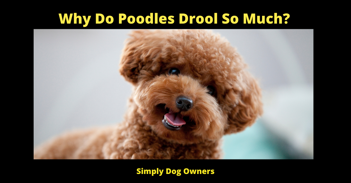 Why Do Poodles Drool So Much?