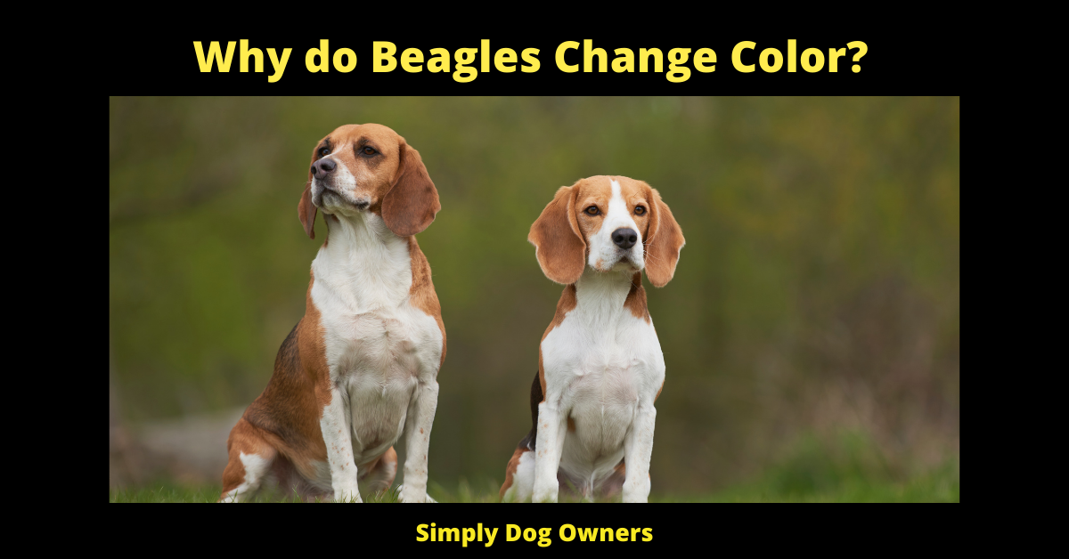 Why do Beagles Change Color?
