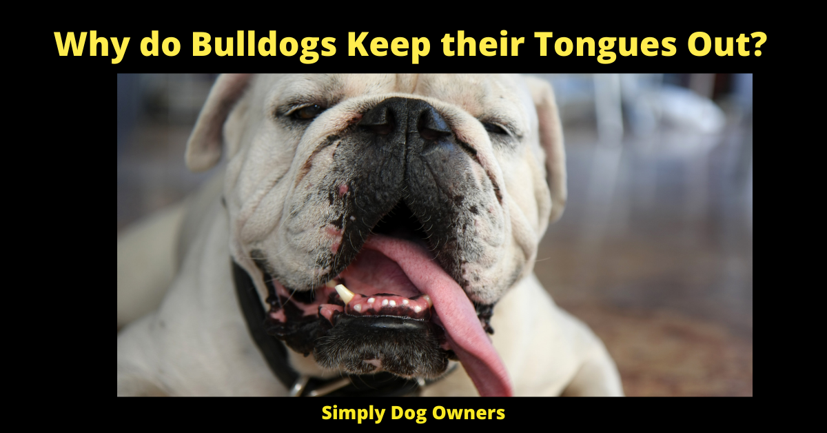 Why do Bulldogs Keep their Tongues Out?