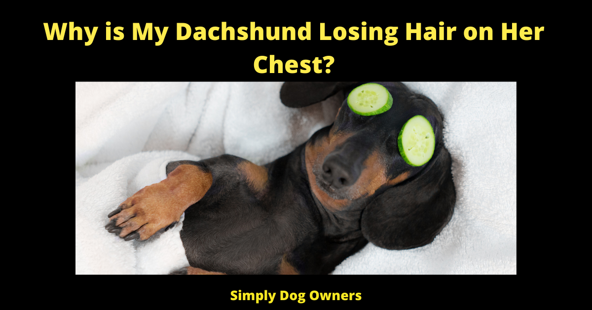 Why is My Dachshund Losing Hair on Her Chest?