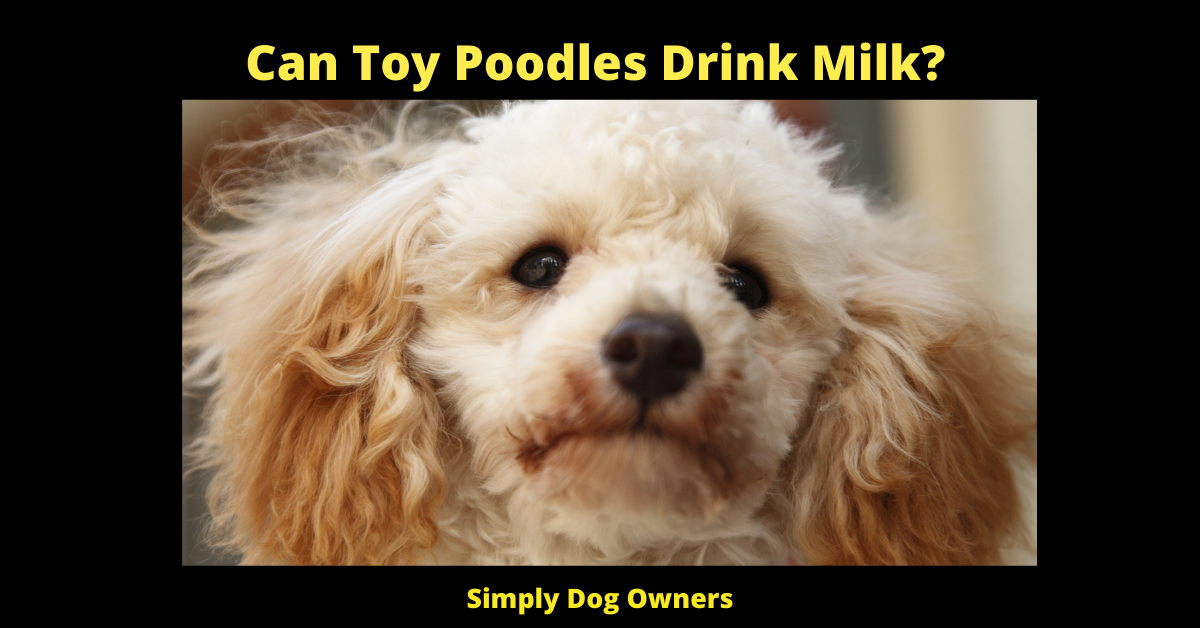 Can Toy Poodles Drink Milk