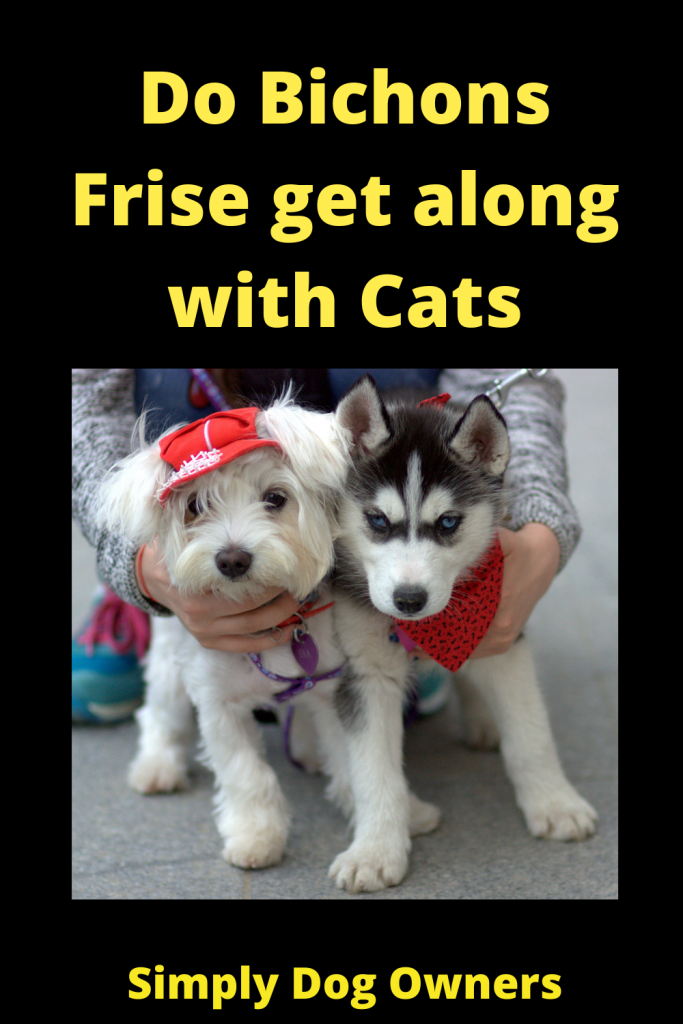 Do Bichons Frise get along with Cats 2