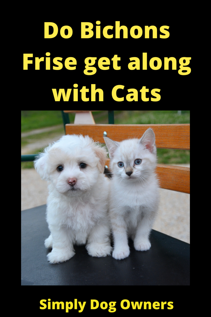 Do Bichons Frise get along with Cats 3