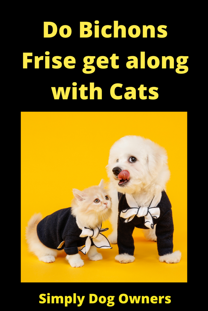 Do Bichons Frise get along with Cats 1
