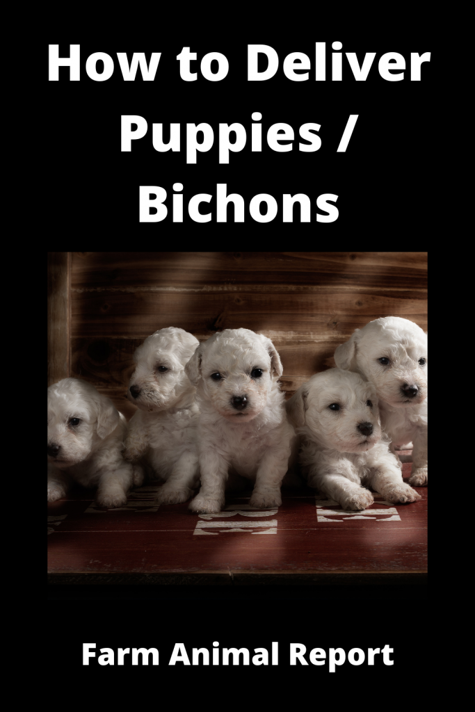 How to Deliver Puppies - Bichon Frise 1
