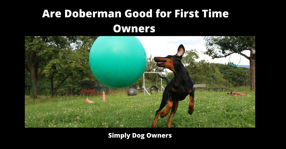 Are Doberman Good for First Time Owners
