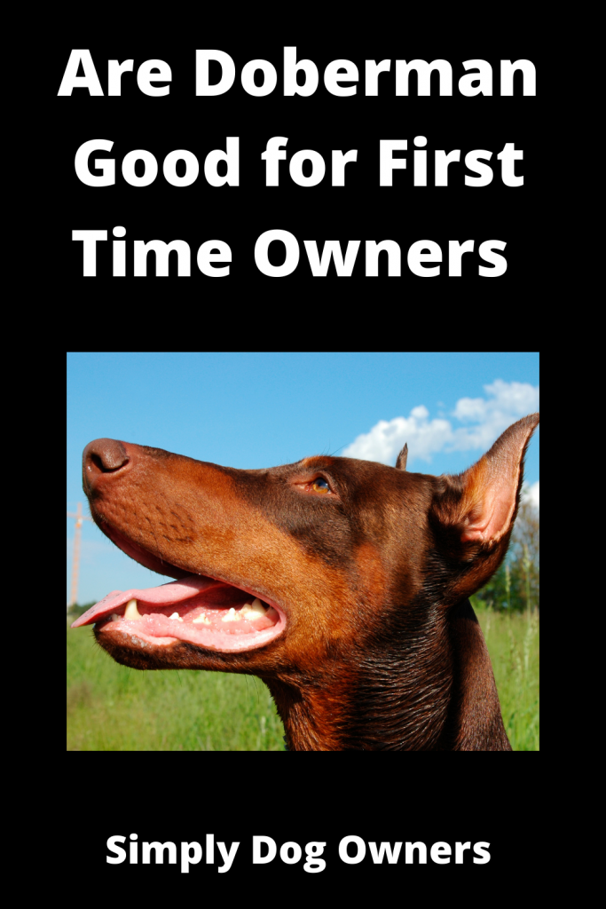 Are Doberman Good for First Time Owners 2