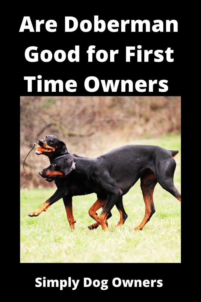 Are Doberman Good for First Time Owners 3