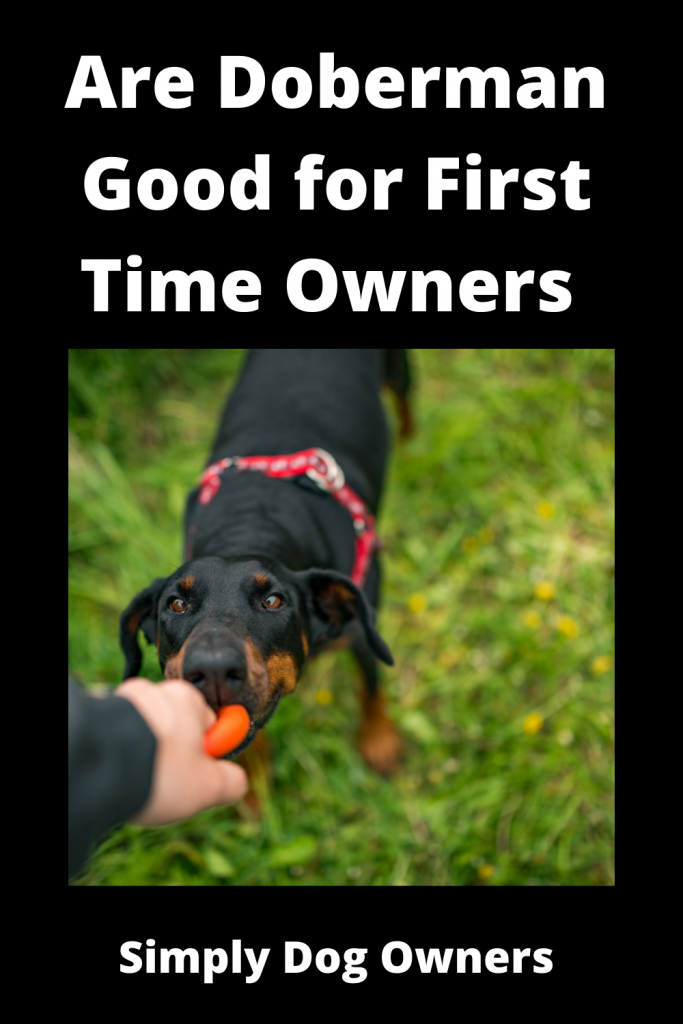 Are Doberman Good for First Time Owners 4