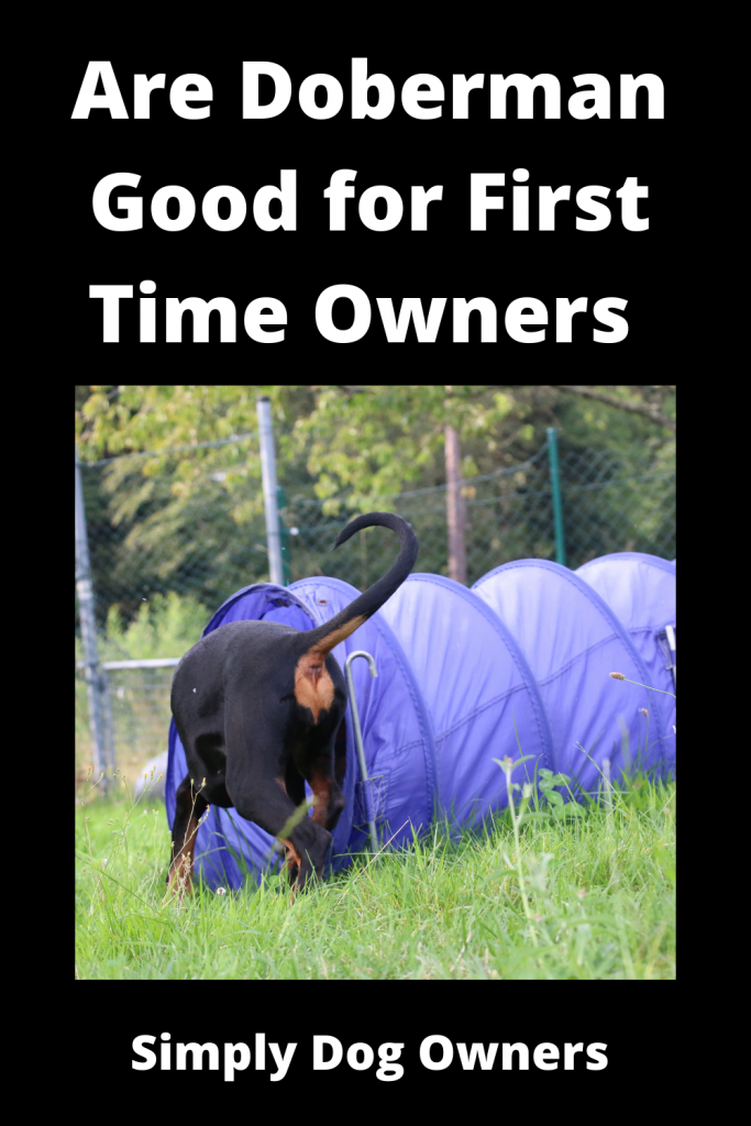 Are Doberman Good for First Time Owners 1