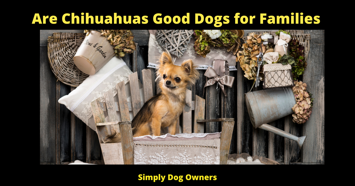 Are Chihuahuas Good Dogs for Families
