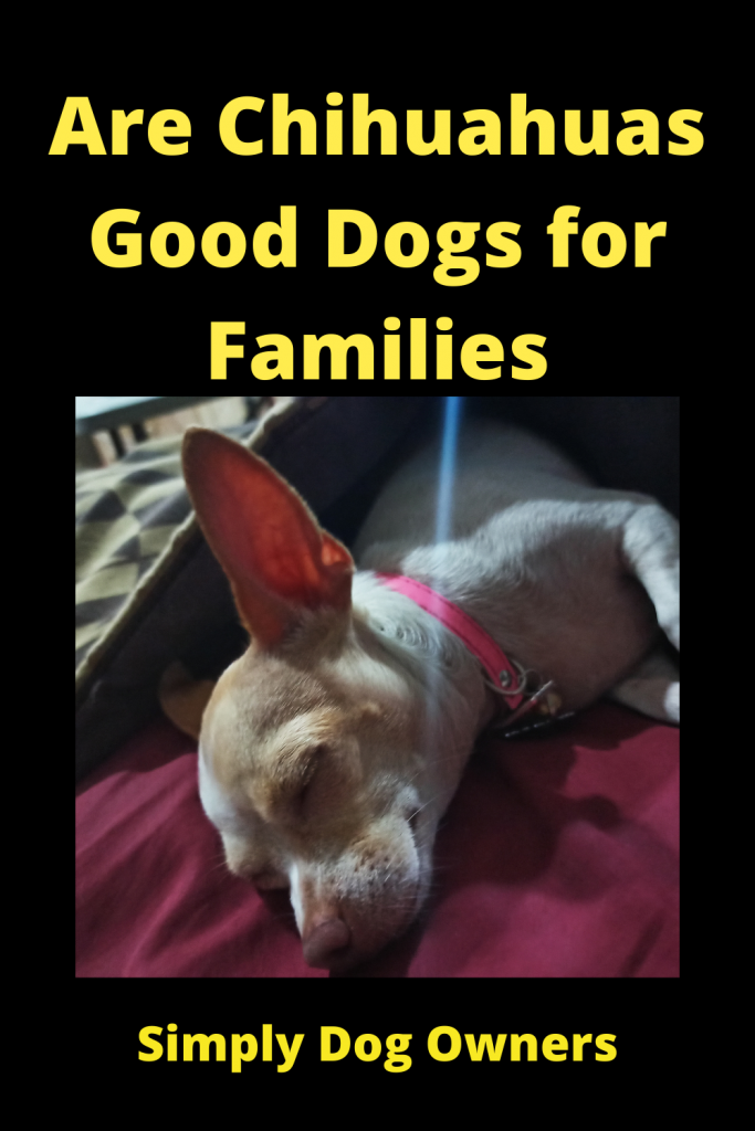 Are Chihuahuas Good Dogs for Families 1