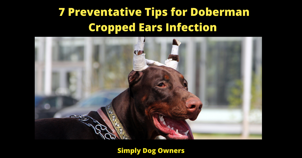 7 Preventative Tips for Doberman Cropped Ears Infection